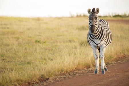 field stripped: Zebra stands watching