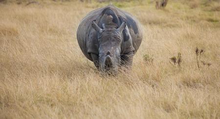 背の高い草から妊娠中のホワイト Rhino を時計します。 写真素材