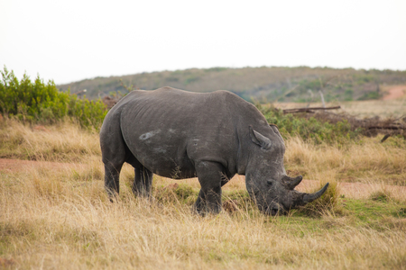 Male White Rhino with long horn grazing