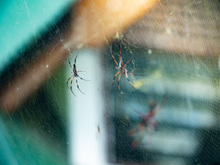 Two Golden Orb-weaver spiders sitting on a web in the Seychelles
