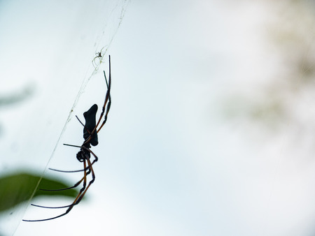 Side on silhouette of a large Golden Orb-weaver spider on a web with a second smaller companion
