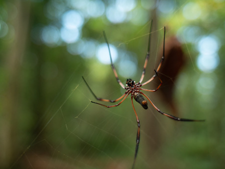 Underside view of a Golden orb-weaver spider on a web in the Seychelles Stock Photo