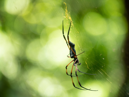 Side angle and visible fangs of a Golden orb-weaver spider on a web in the Seychelles
