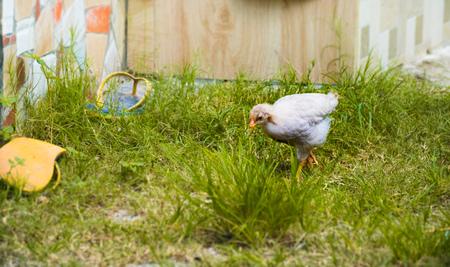 White chicken struts around a green grassy area.