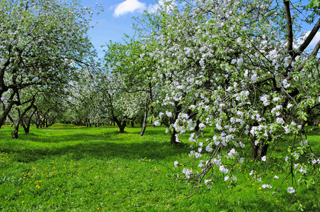 clear day: Apple Trees covered with Blossoms in a May Apple Garden on a Clear Day Stock Photo