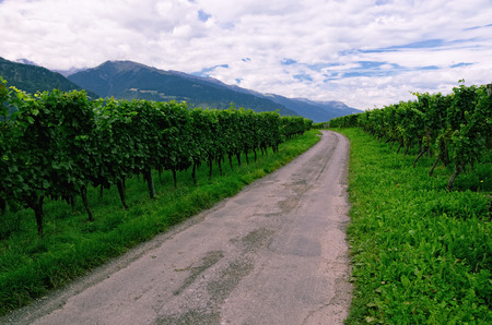 Road through a Late Summer Vineyard in Rhine Valley (Graub?nden, Switzerland), with Grapes Ripening photo