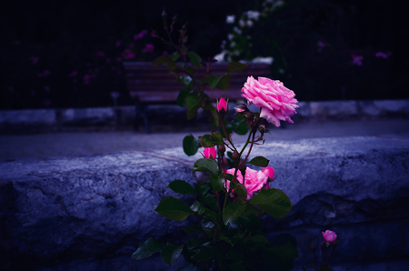 abloom: Pink Rose in Bloom in a Garden, against Stone Wall, with the Bluish Background