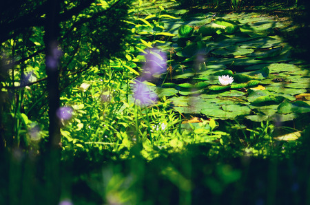 waterlily: White Water-Lily on a Pond Surface covered with Leaves, seen through Greenery Stock Photo