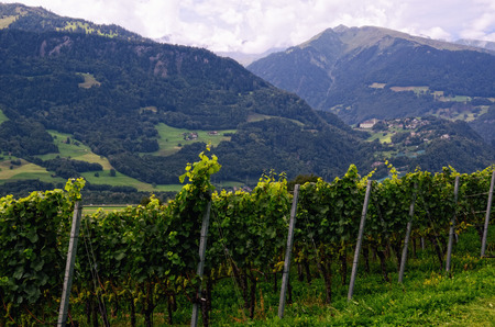 st gallen: Vineyard in Rhine Valley, with Grapes Ripening in Late Summer - in Jenins Municipality, Swiss Canton of Graubnden, Switzerland. Mountains in the Distance. In the Background  Pffers Municipality in Canton of St. Gallen, with Pffers Abbey Stock Photo