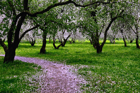 abloom: Apple-tree Garden Blooming in Spring, with Apple Blossoms on the Ground