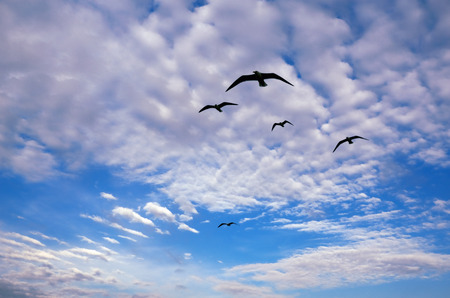 mew: Sea Gulls in Flight against the Background of a Blue Sky and White Clouds (following a boat) Stock Photo