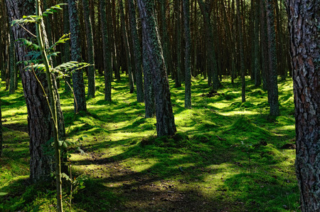northern light: Northern Forest in Summer with Shadowy Trunks of Pine-Trees and Green Mossy Ground Lit by Sun Light