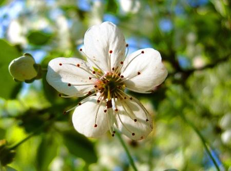 Apple tree blossoms  Stock Photo