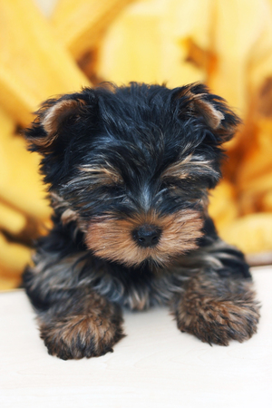 cute little puppy of the yorkshire terrier
