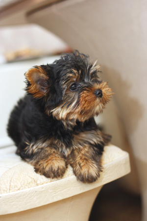 yorke: cute yorkshire terrier lying on the chair Stock Photo