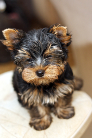 yorke: closeup image of a cute yorkshire terrier