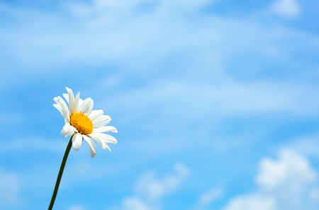camomile over the blue sky background Stock Photo