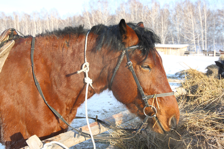 horse feeding outdoors in winter