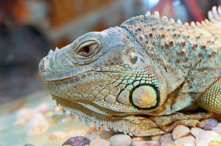 closeup image of the big green iguana Stock Photo
