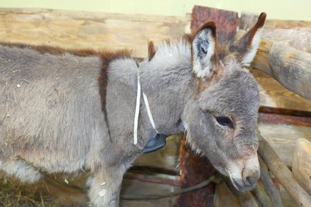 grey little baby donkey closeup