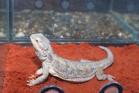 cute grey lizard posing closeup