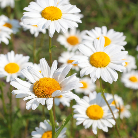 many bright camomile flowers closeup