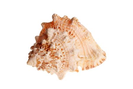 big orange sea shell isolated on white