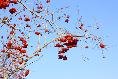 branch of ripe ashberries
