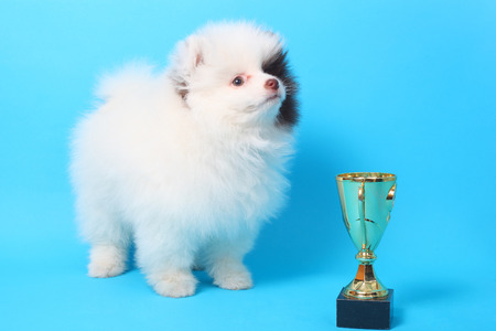 cute little spitz puppy with the winner cup
