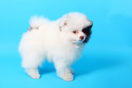 cute little spitz puppy closeup