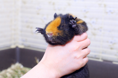hand holding a cute little cavy Stock Photo