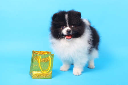 two cute puppies with the holiday parcel Stock Photo