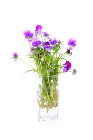 violet pansy on the white background