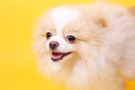 merry cute little spitz puppy