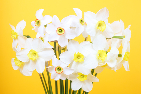 white narcissus flowers on the yellow background