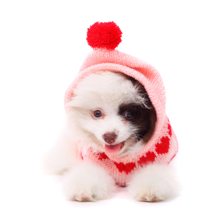 cute merry smiling spitz puppy wearing the warm jacket