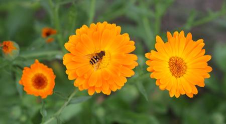wasp insect on the orange calendula
