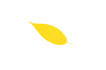 ash tree yellow leaf closeup