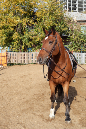 young brown beautiful horse closeup  Stock Photo