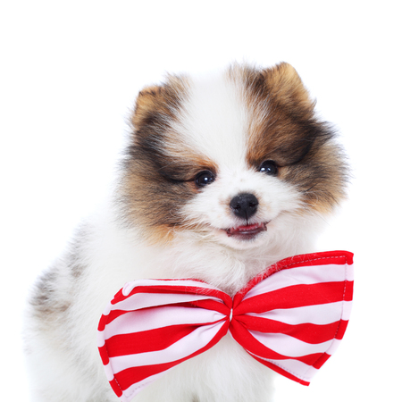 cute merry smiling spitz puppy Stock Photo