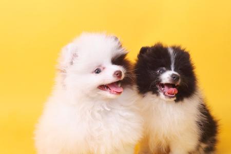 two cute little spitz puppies closeup 版權商用圖片