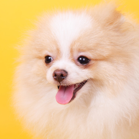 merry cute little spitz puppy
