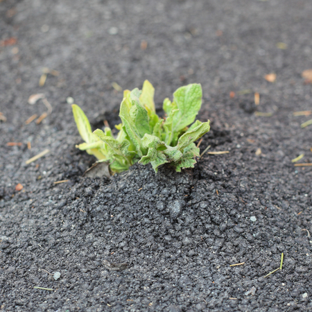 sprout growing through the asphalt Stock Photo