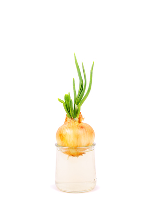 green onion growing in the glass
