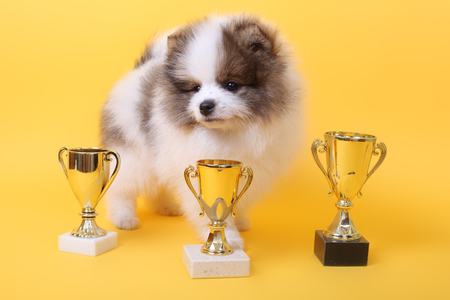 cute little spitz puppy with the winner cups