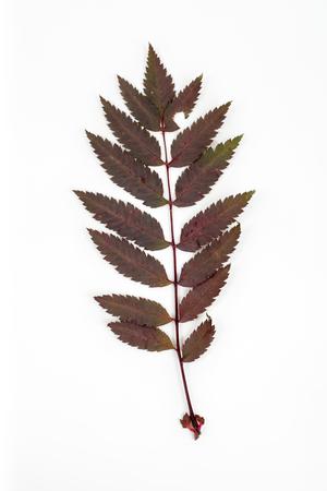 red bright rowan leaves closeup