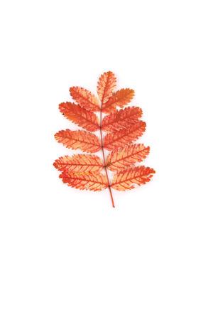 orange bright rowan leaves closeup Stock fotó