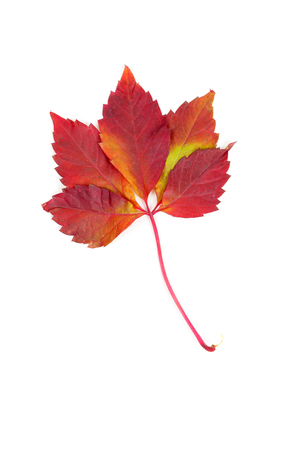 red and yellow maple leaf closeup
