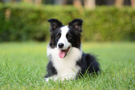 Border Collie on the grass Banque d'images