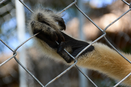 lockup: gibbons in the zoo,Hand of gibbons